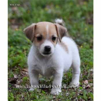 Jack Russell Terrier Puppies For Sale In Florida