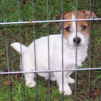 Jack Russell Terrier Puppies For Sale In Georgia