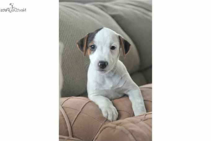 Jack Russell Terrier Puppies For Sale In Los Angeles