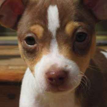Jack Russell Terrier Puppies For Sale In Minnesota
