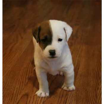 Jack Russell Terrier Puppies For Sale In Missouri