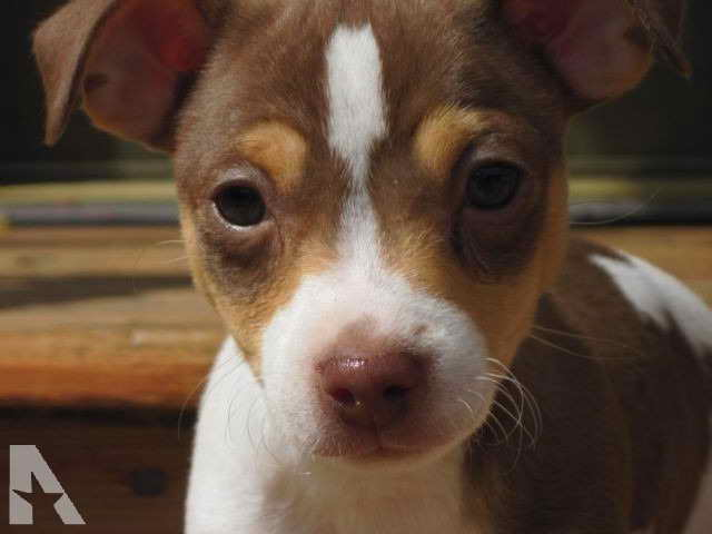 Jack Russell Terrier Puppies For Sale In Mn