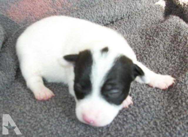 Jack Russell Terrier Puppies Indiana
