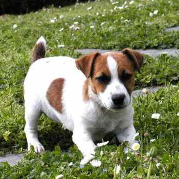Jack Russell Terrier Puppies Iowa