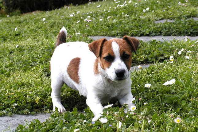 Jack Russell Terrier Puppies Iowa