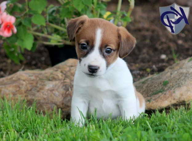 Jack Russell Terrier Puppies Mix