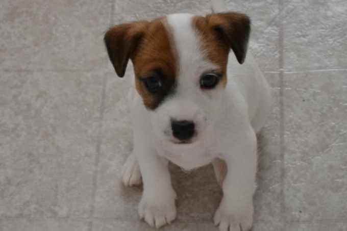 Jack Russell Terrier Rescue Michigan