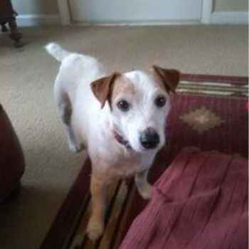 Jack Russell Terrier Rescue Oklahoma