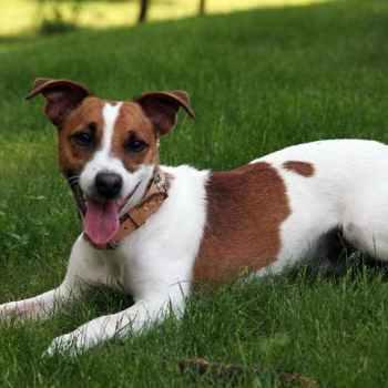 Jack Russell Terrier Utah