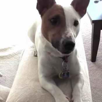 Jack Russell Terrier Videos