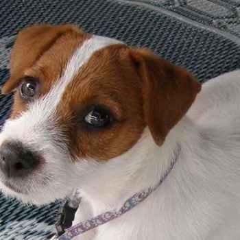 Jack Russell Terriers Behavior
