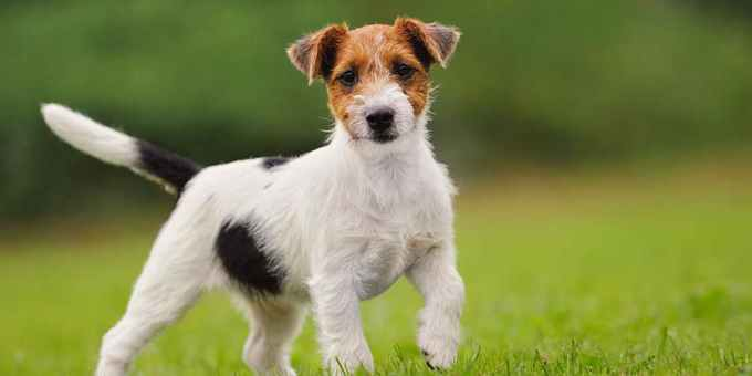 Jack Russell Terriers Care