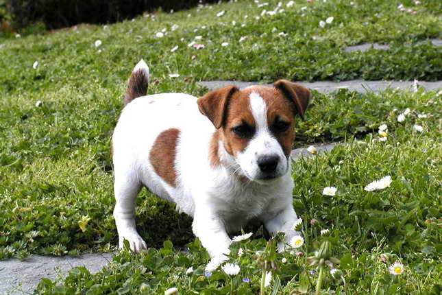 Jack Russell Terriers For Sale In Iowa