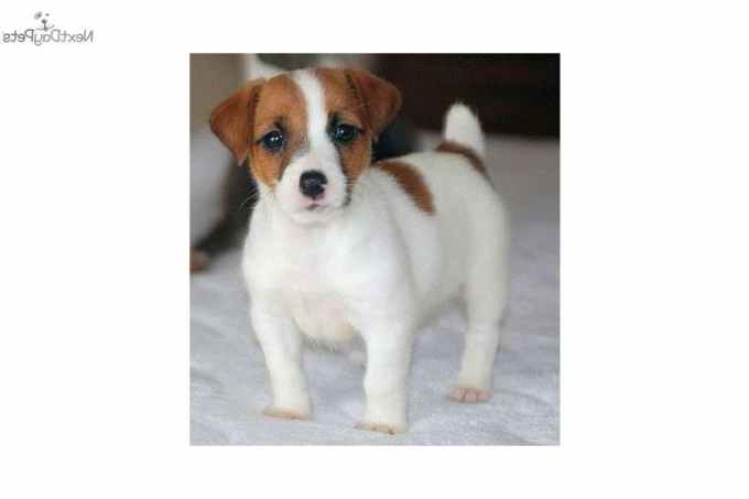Jack Russell Terriers For Sale In Va