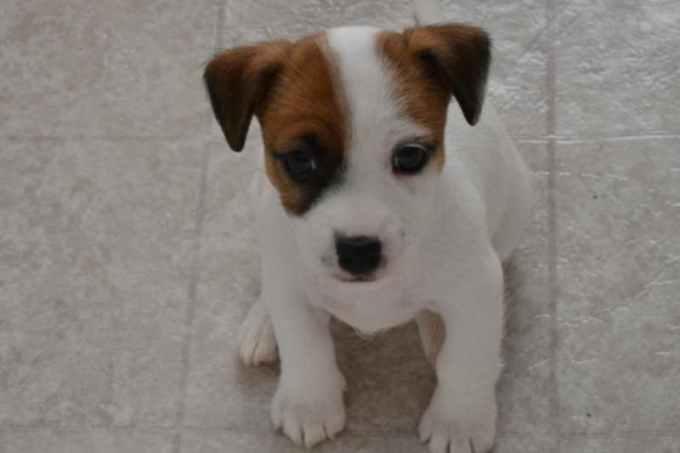 Jack Russell Terriers Nc