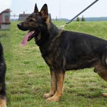 K9 German Shepherd For Sale