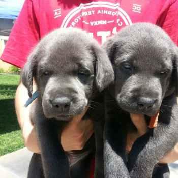 Labrador Adoption Los Angeles