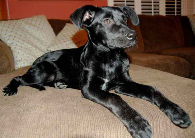 Labrador Adoption San Diego
