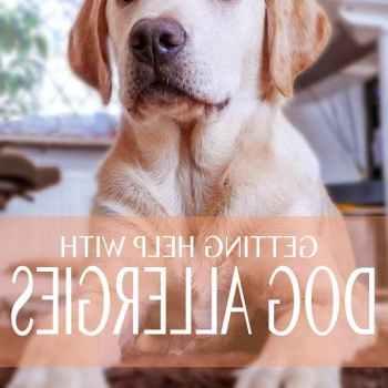 Labrador Allergies