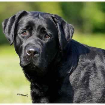 Labrador Breeder Nj