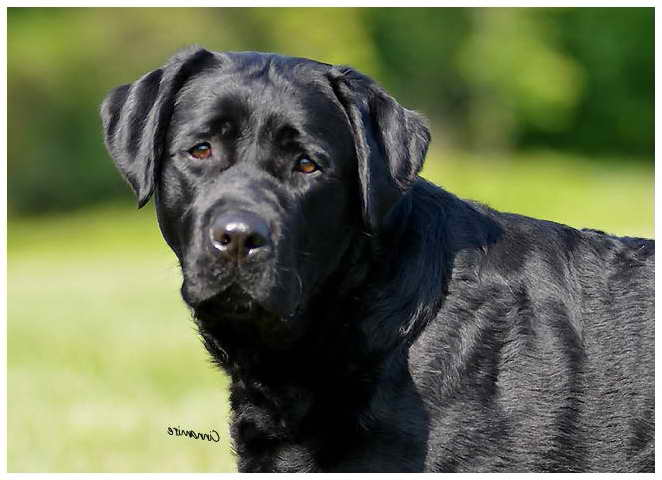 Labrador Breeder Nj