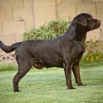 Labrador Breeders Az