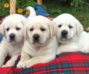 Labrador Breeders Houston