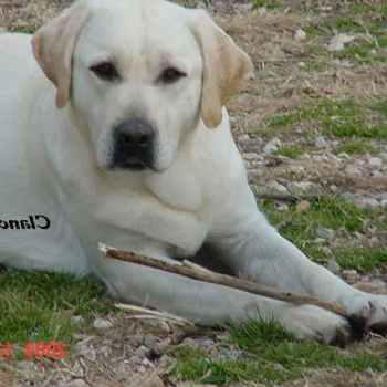 Labrador Breeders In Michigan