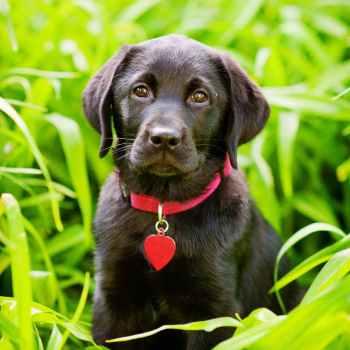 Labrador Breeders In Ny