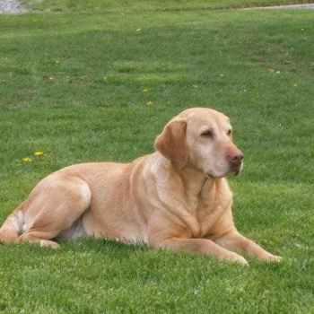 Labrador Breeders In Pa