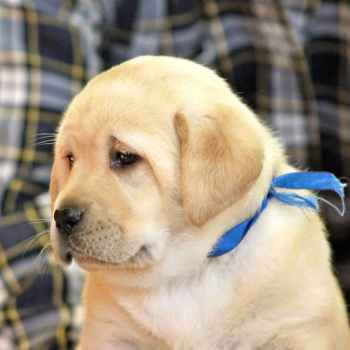 Labrador Breeders Ny