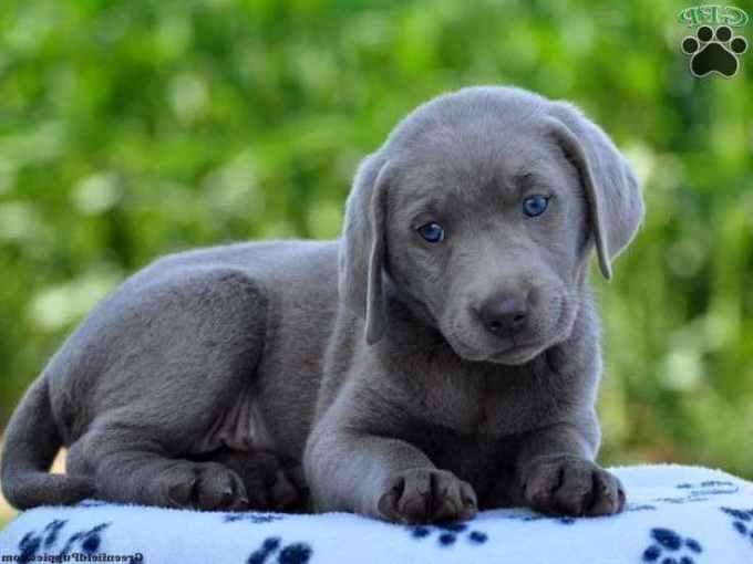 Labrador Breeders Pa