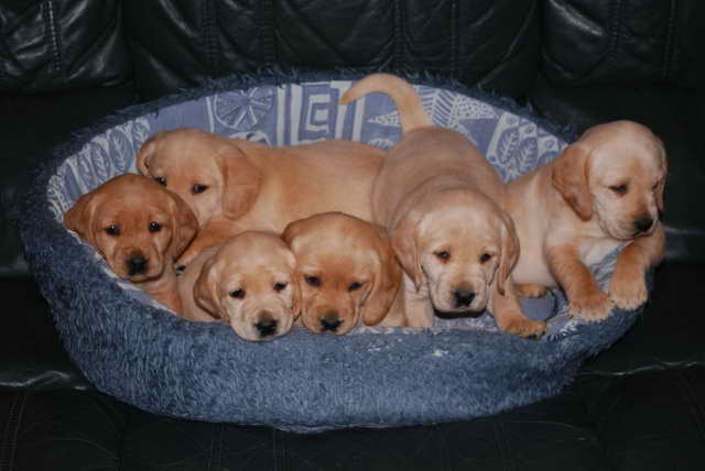 Labrador Cocker Spaniel Mix Puppies For Sale