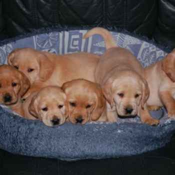 Labrador Cross Cocker Spaniel Puppies For Sale