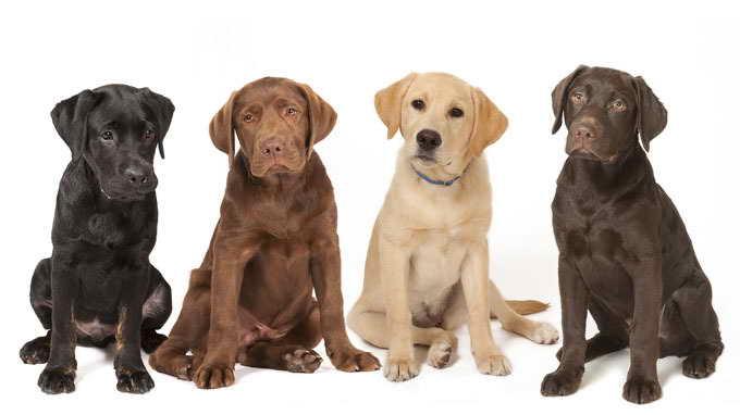 Labrador Dog Breeding