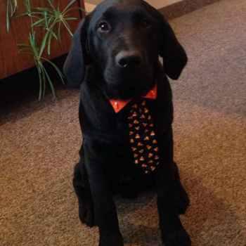 Labrador Dog Costumes