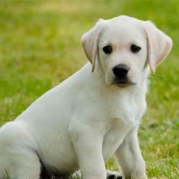 Labrador Dog Puppy