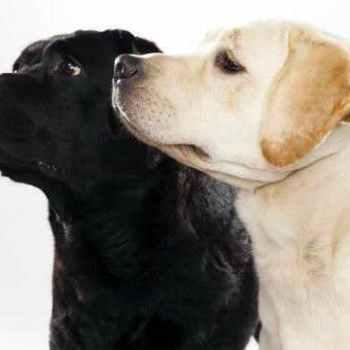 Labrador Dogs 101