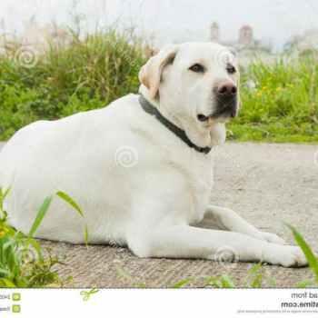 Labrador Dogs For Free