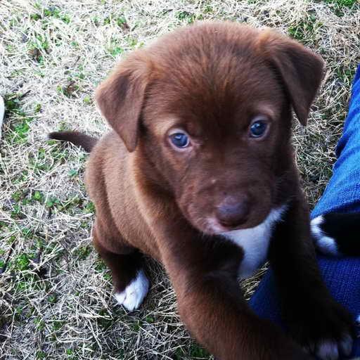 Labrador Dogs For Sale Near Me