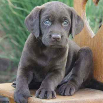 Labrador For Sale In Pa