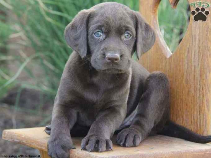 Labrador For Sale In Pa