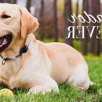 Labrador For Sale Miami