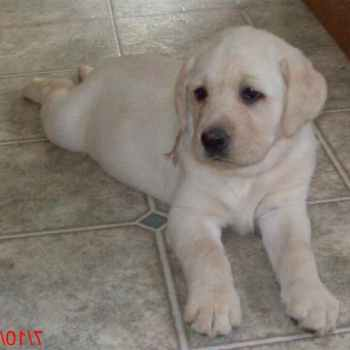 Labrador For Sale Michigan