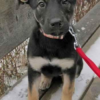 Labrador German Shepherd Mix Puppies For Sale