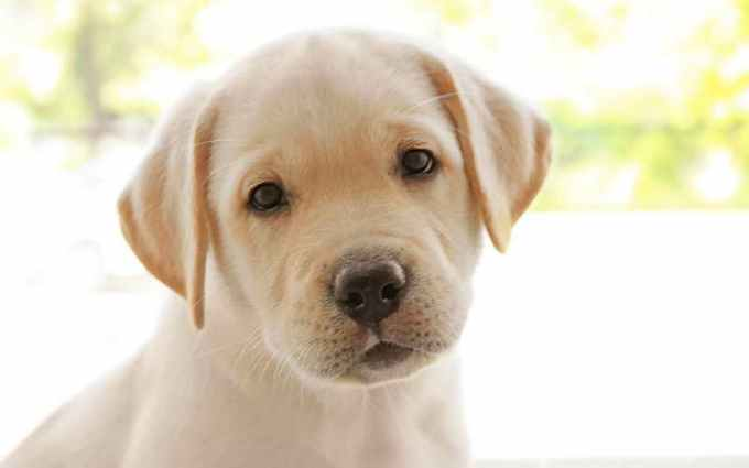 Labrador Girls Names
