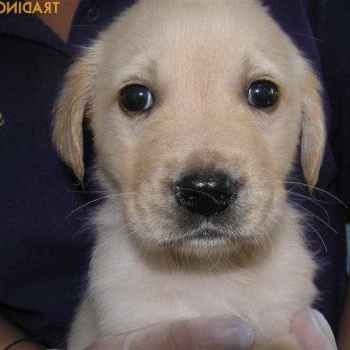 Labrador Golden Retriever Puppies For Sale