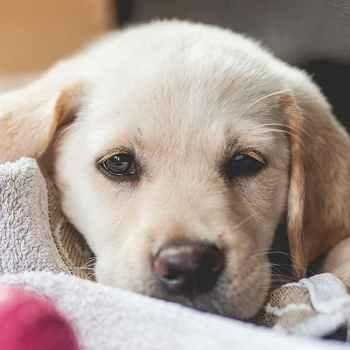 Labrador Golden Retriever Puppy