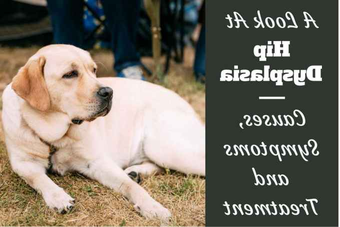 Labrador Hip Dysplasia Symptoms