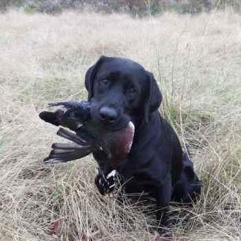 Labrador Hunting Dogs